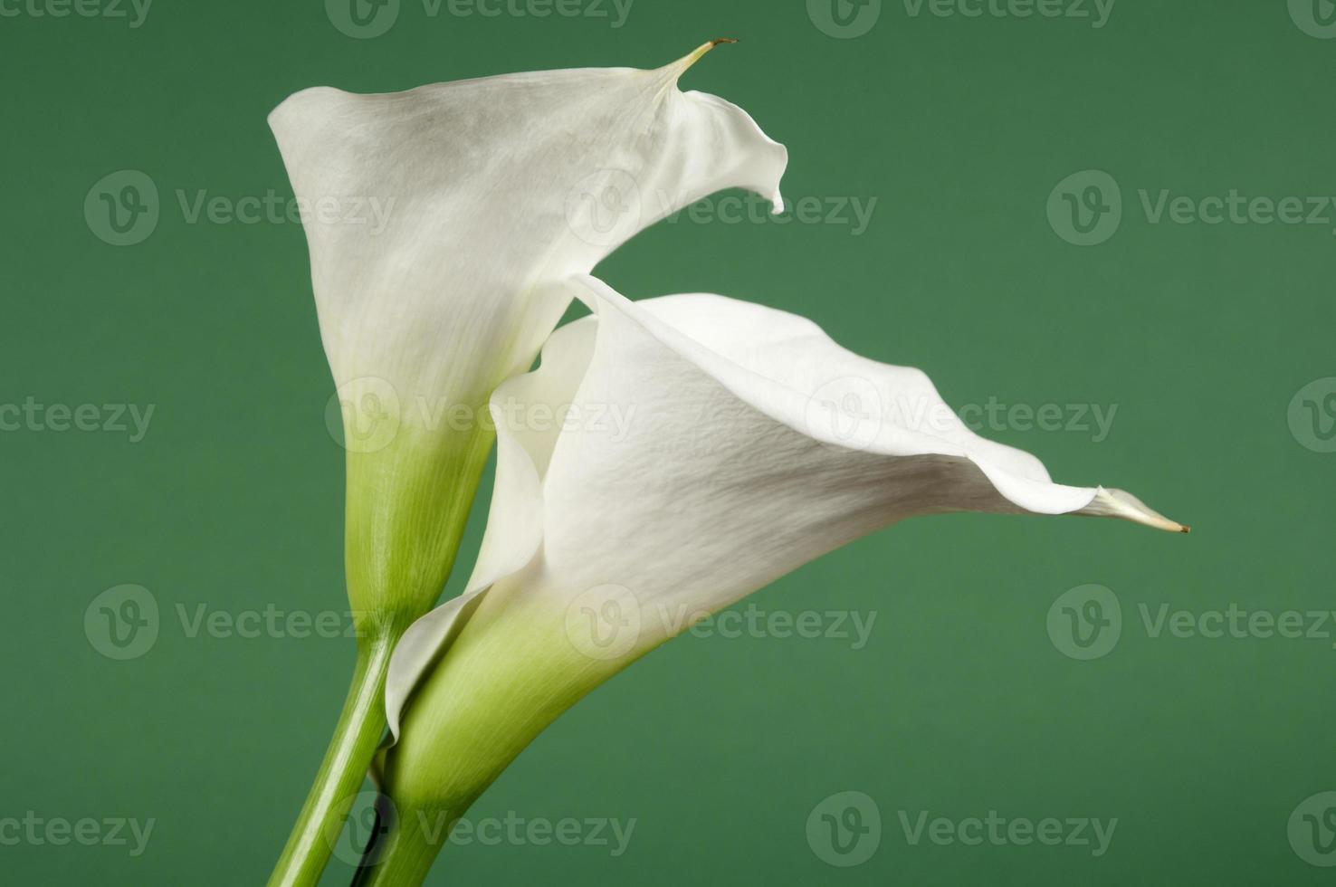 calla lily blommor foto