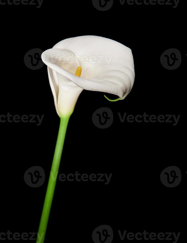 singel calla lily isolerad på svart foto