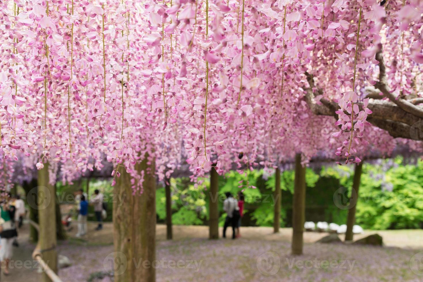 wisteria tunnel, den fantastiska världen full av blommor av blåsor foto