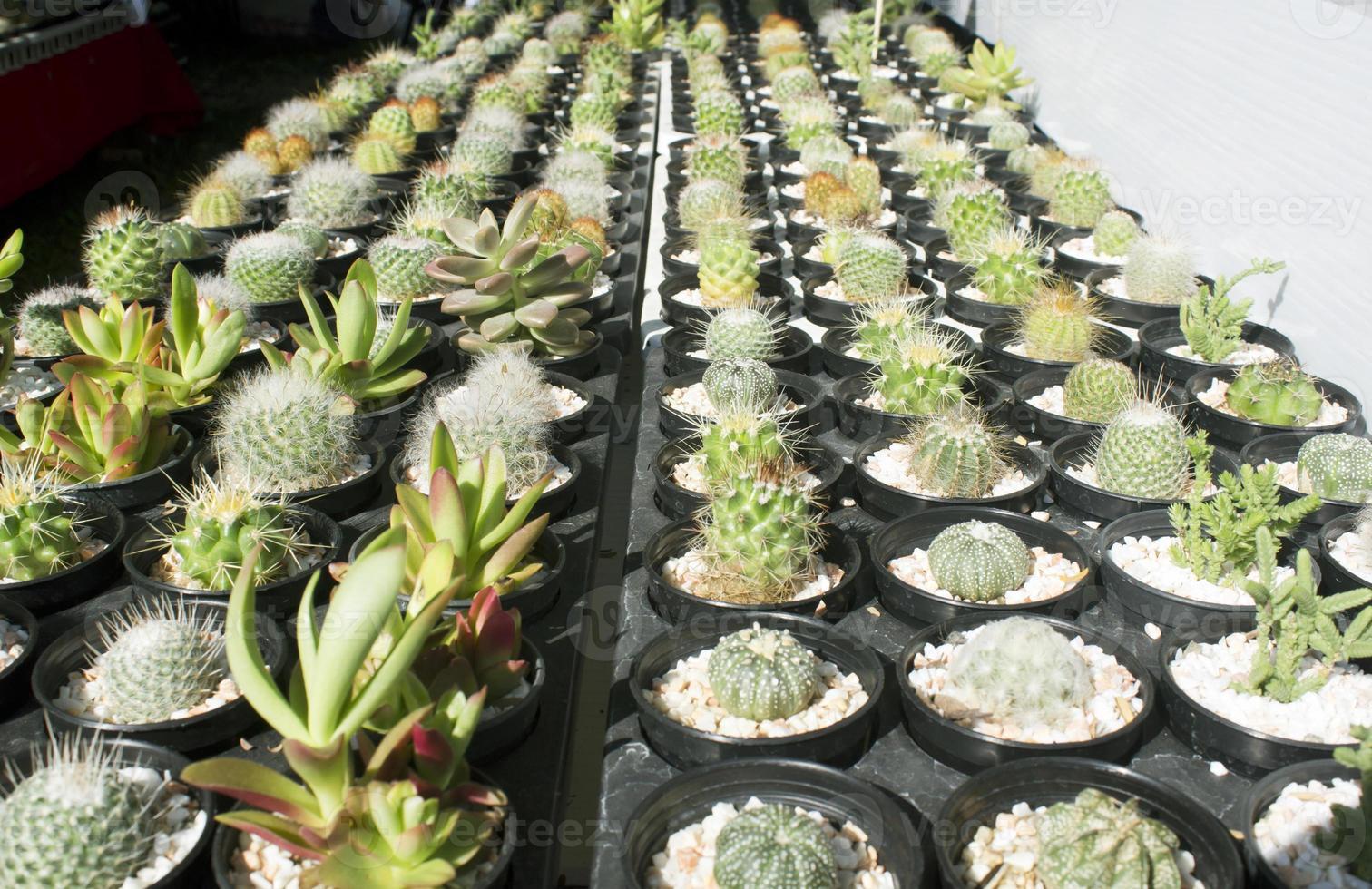 kaktus i krukor placerade tillsammans. foto