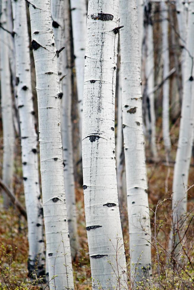 aspeträdstammar foto