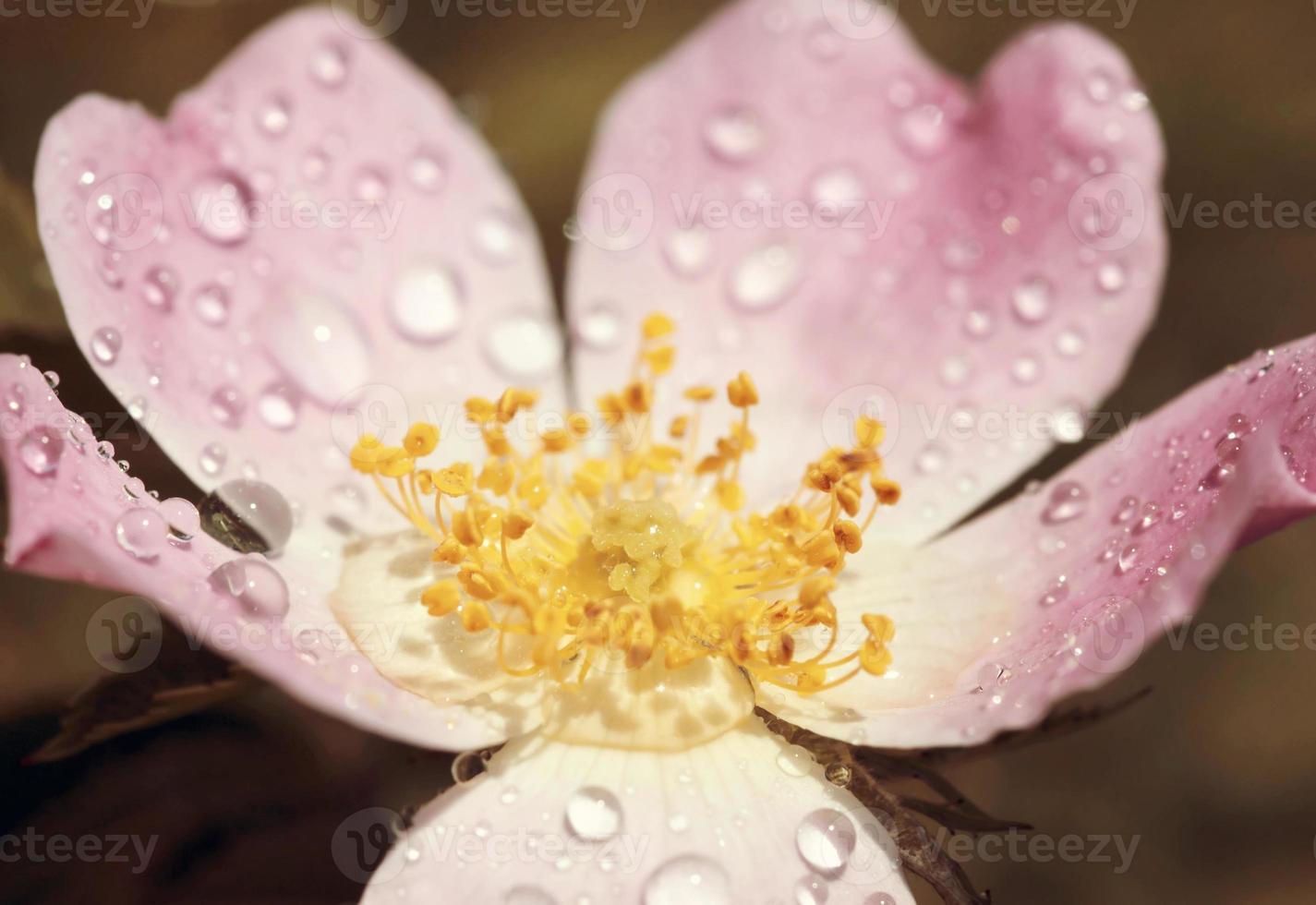 vacker rosa ros foto