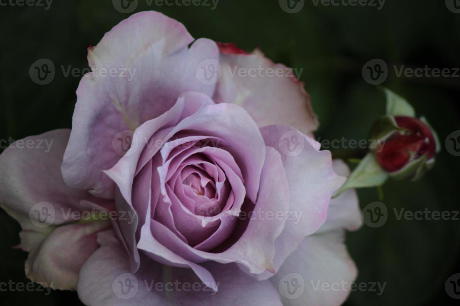 rosa novalis - ros från toppen foto