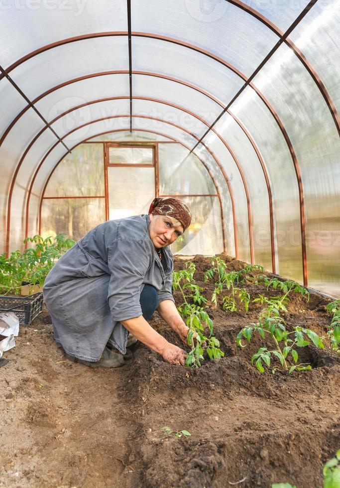 tomatväxter i marken växthus foto