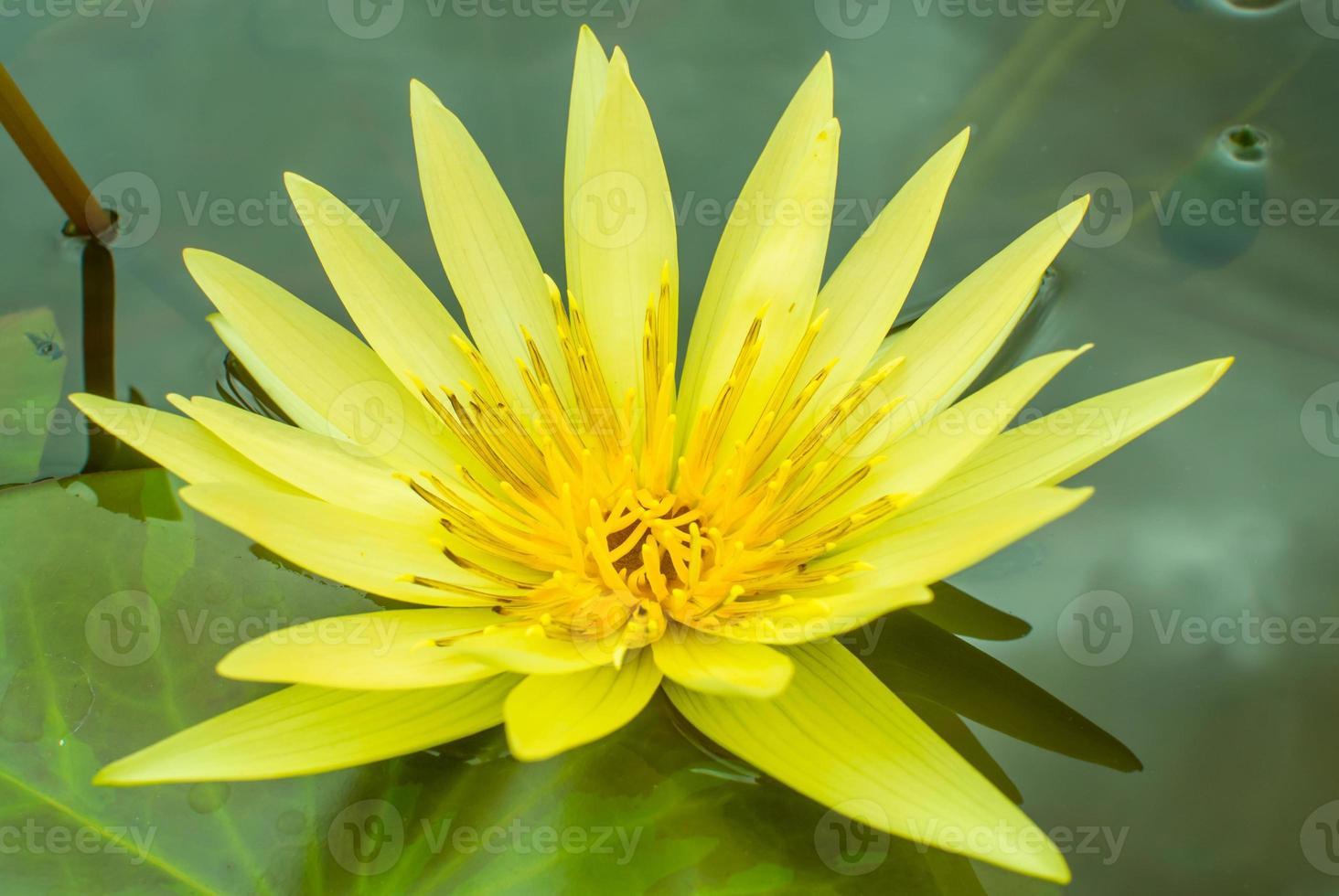 lotus närbild foto
