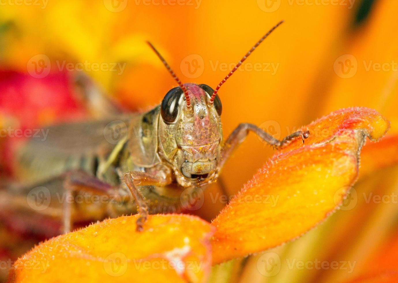 gräshoppa - närbild foto