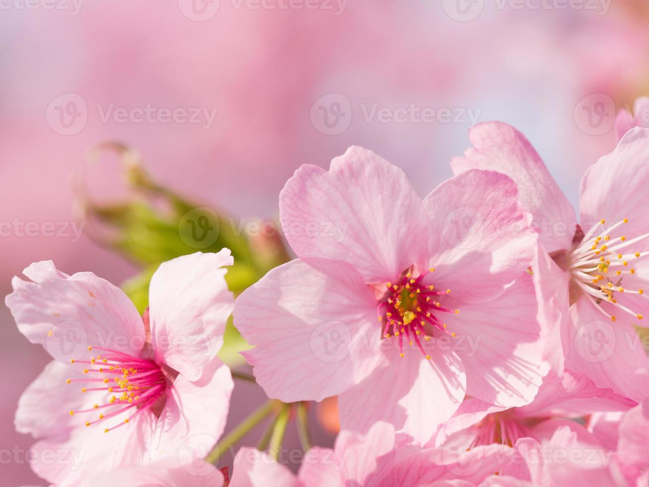 lysande rosa körsbärsblomning foto