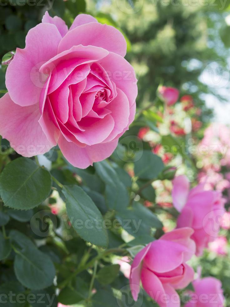 blommande rosa ros. foto