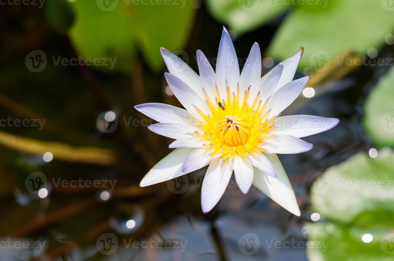 närbild vit lotus foto