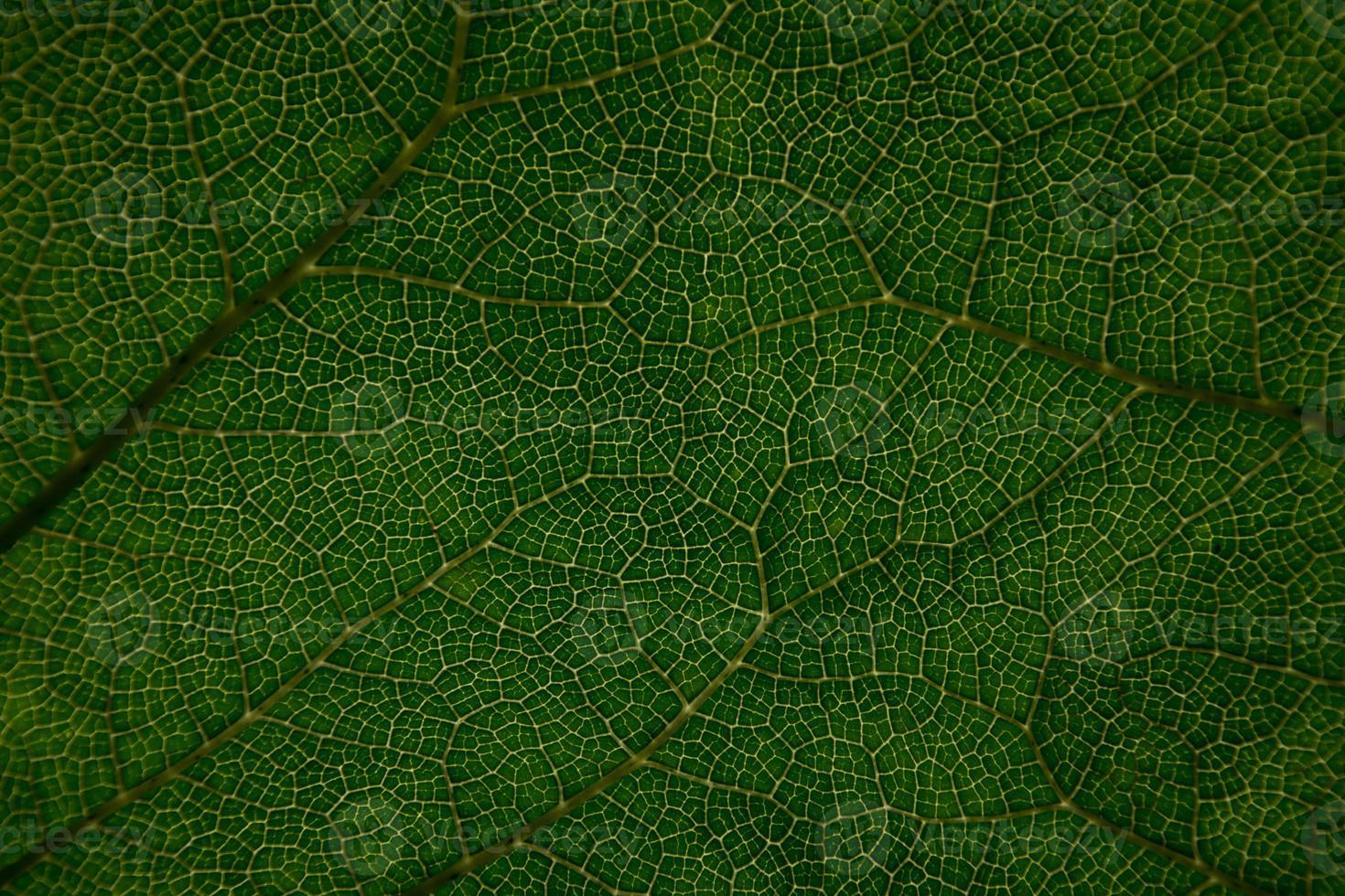 gunnera blad på nära håll foto