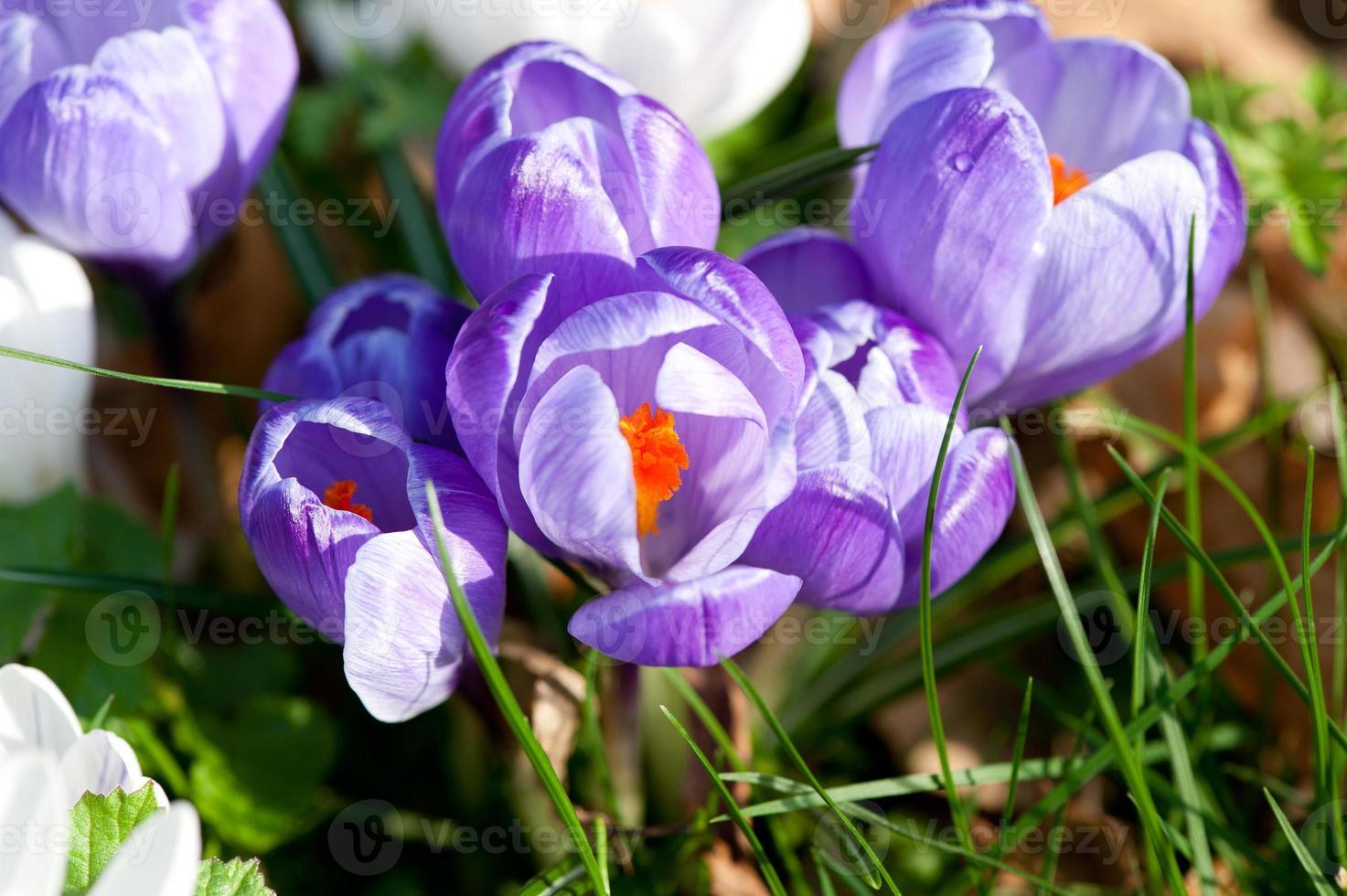 lila krokus närbild. foto