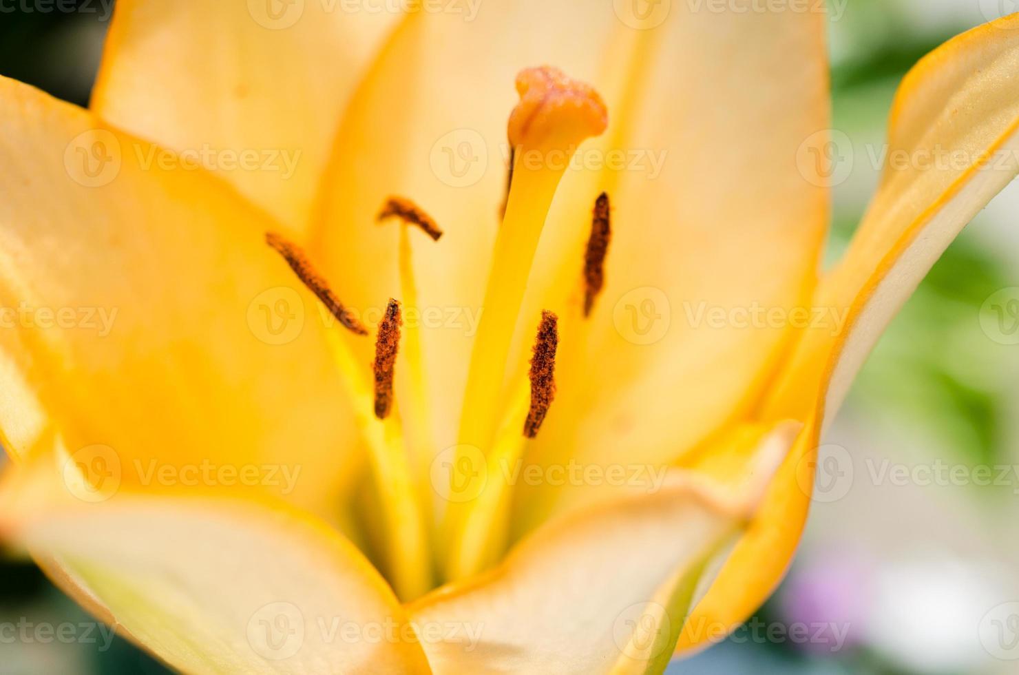 gul lilja på nära håll foto