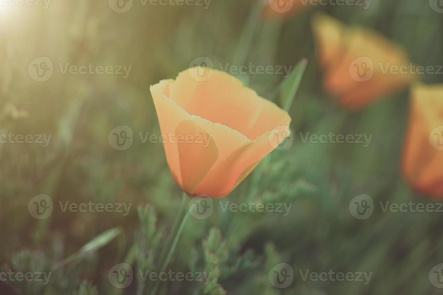 orange vallmo på nära håll foto
