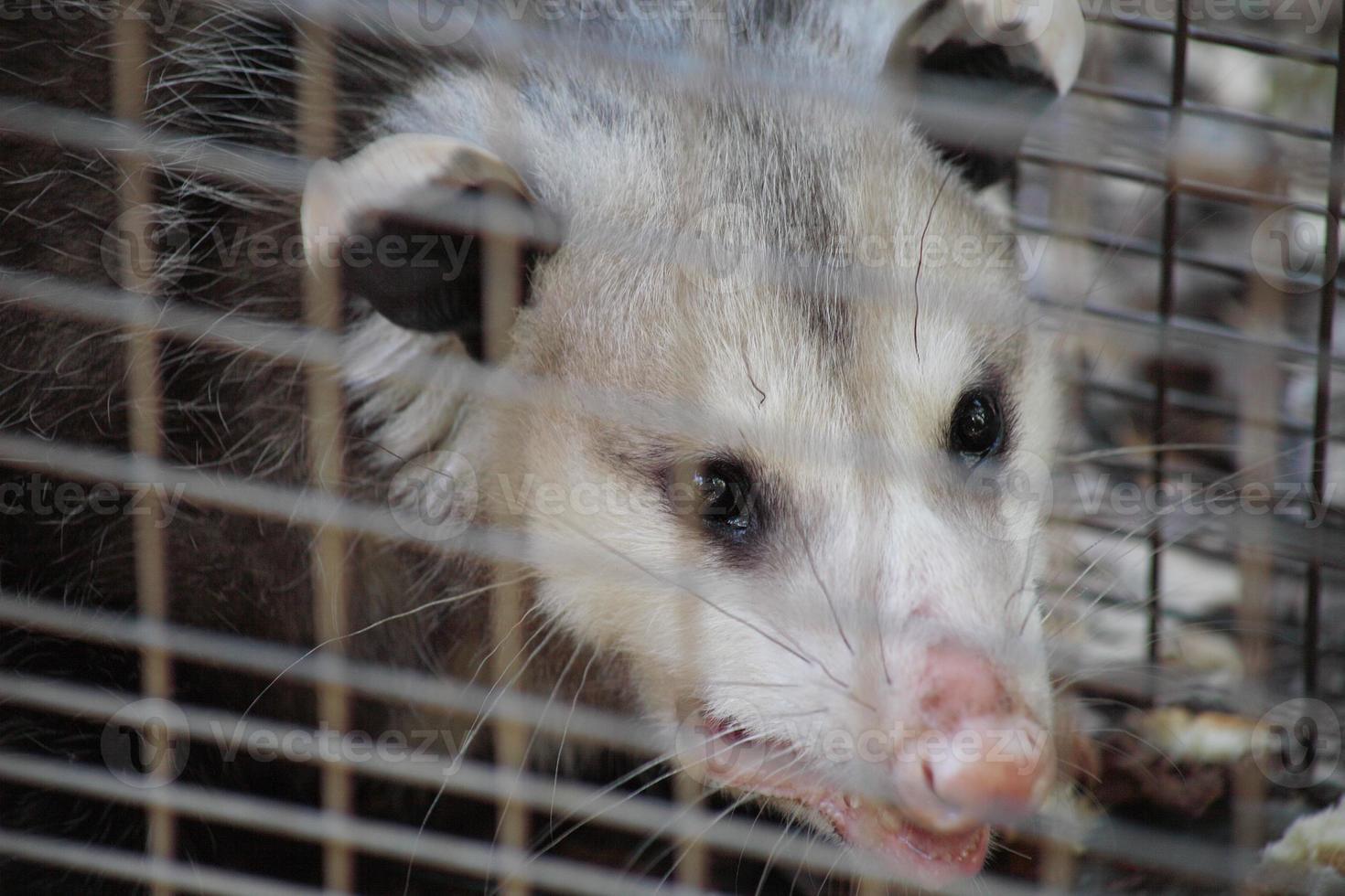 närbild av opossum foto
