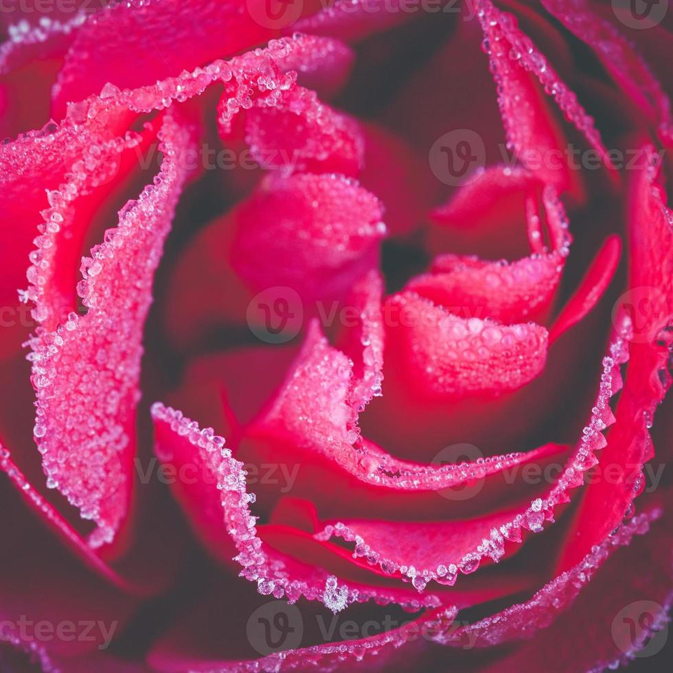 frusen ros, närbild foto