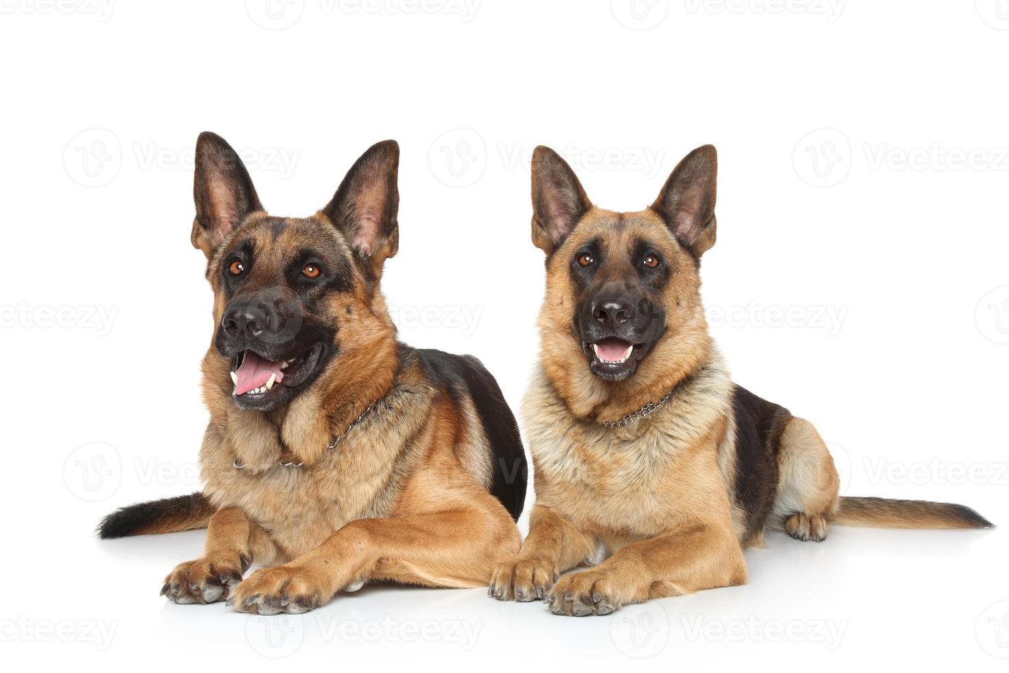 två tyska herdehundar foto