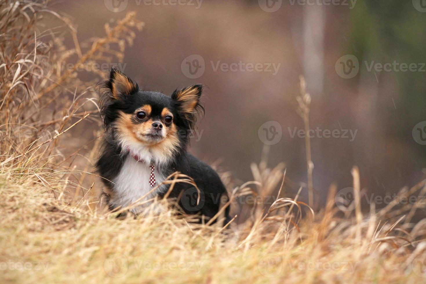 chihuahua i gräset foto