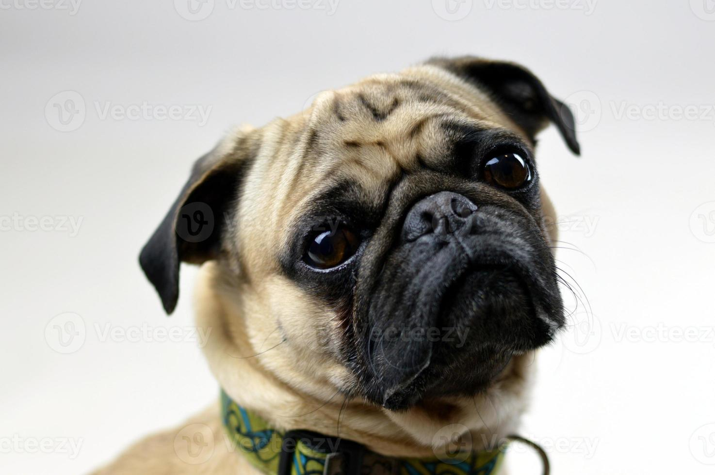 mops hund porträtt foto