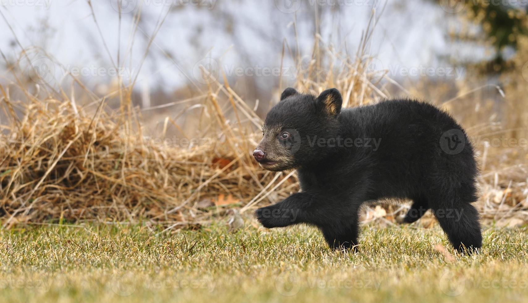 amerikansk svartbjörnkub (ursus americanus) kör över gräset foto