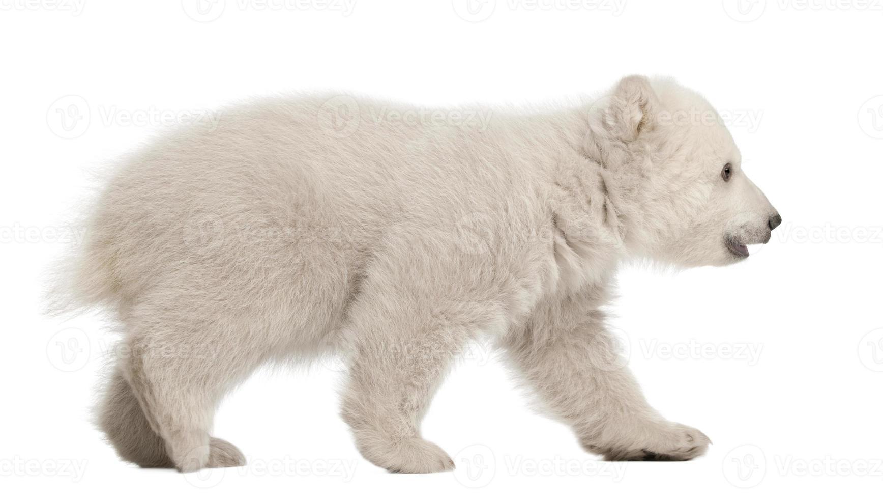 isbjörngröngöling, ursus maritimus, 3 månader gammal, promenader foto