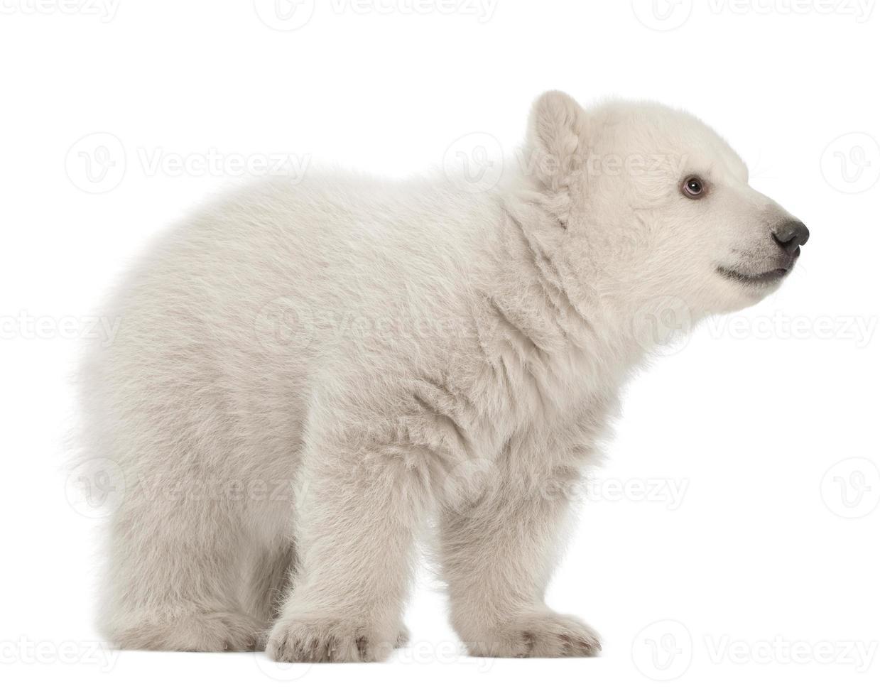 isbjörngröngöling, ursus maritimus, 3 månader gammal, stående foto