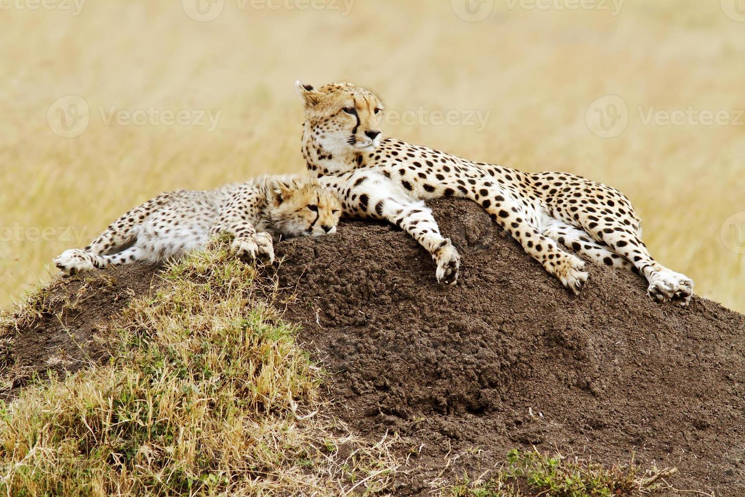 masai mara cheetahs foto
