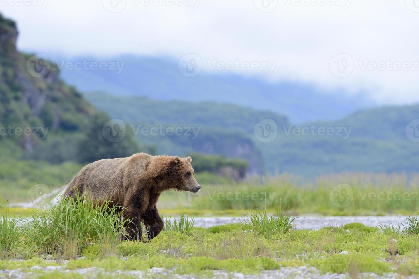 grizzlybjörn (urus arctos horribilis) foto