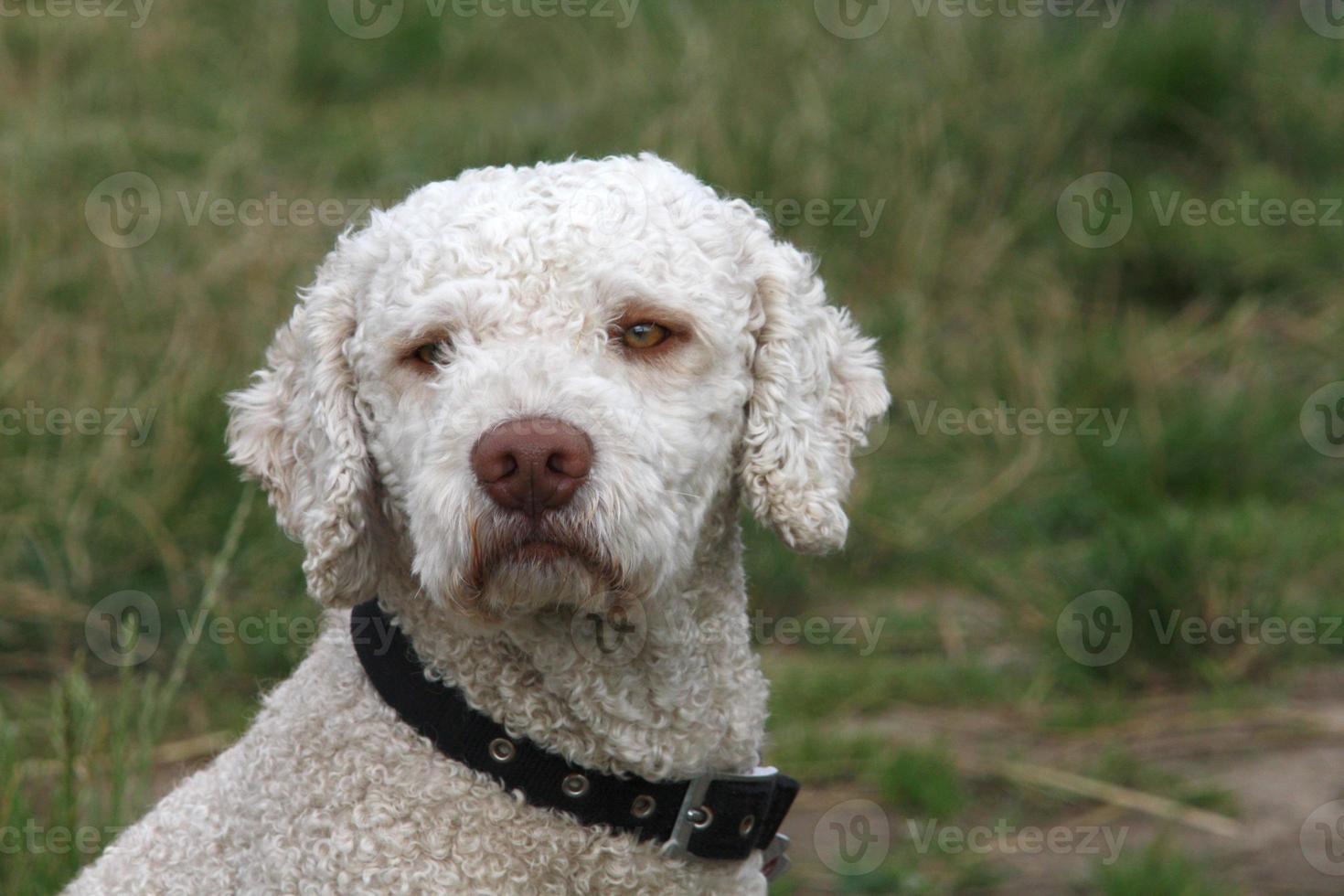 spansk vattenhund foto