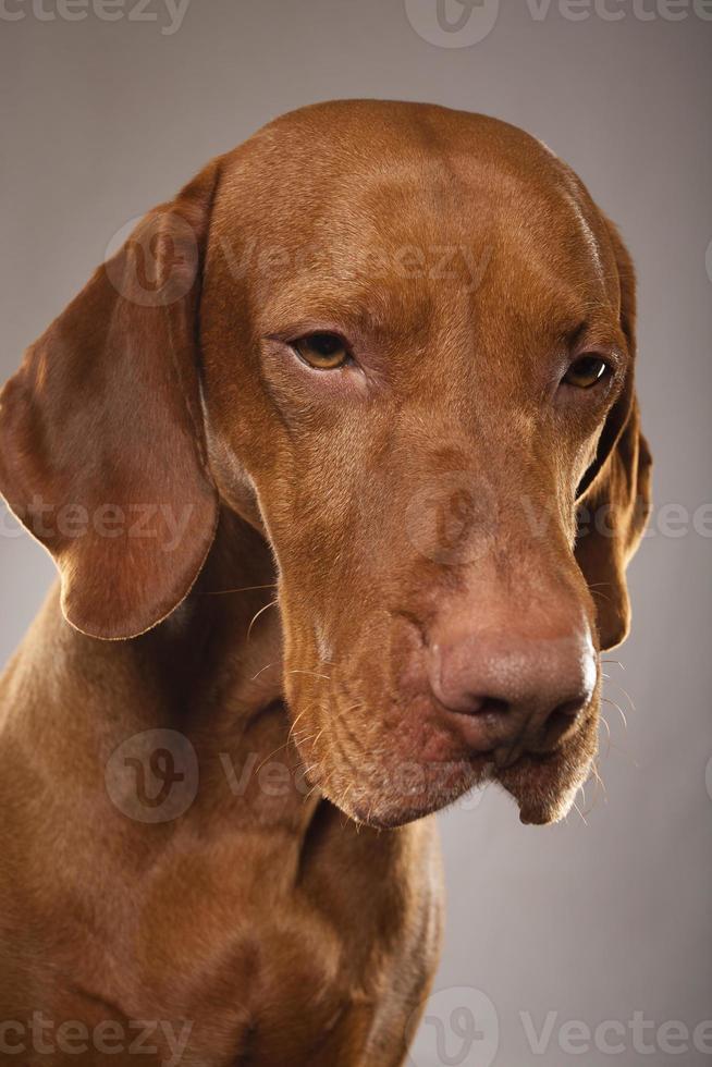 studio hund porträtt foto