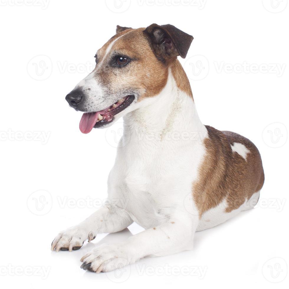 jack russell terrier som ligger på vitt foto