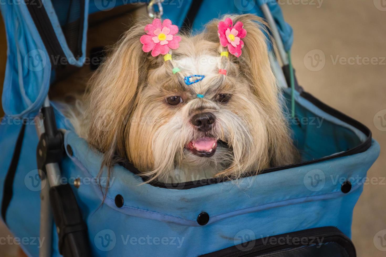 shih tzu hund som ligger i barnvagnen foto