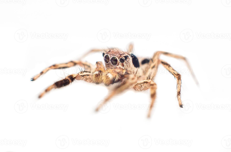 hoppande spindel foto