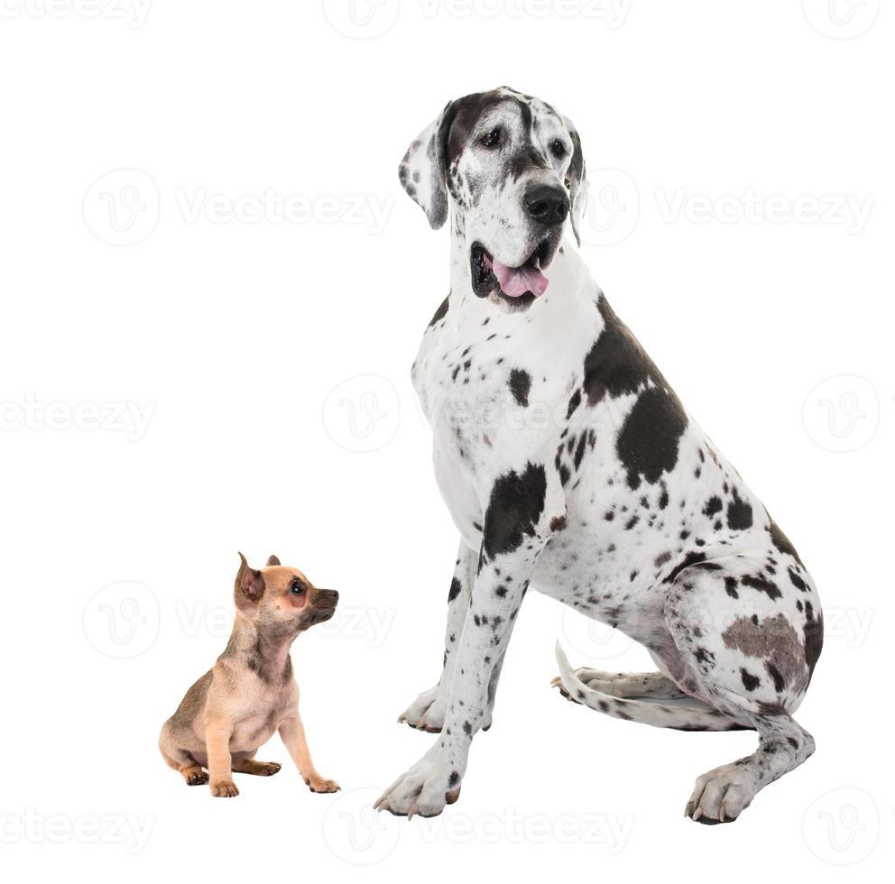 bra danska och chihuahua hundar foto