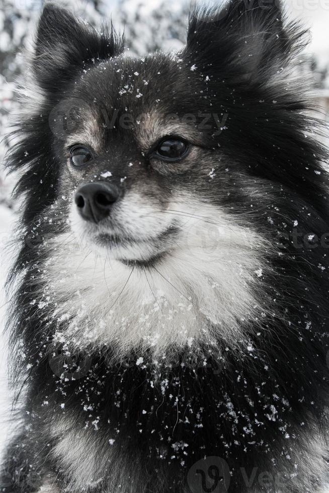 söt pomeranian spelar i snö foto