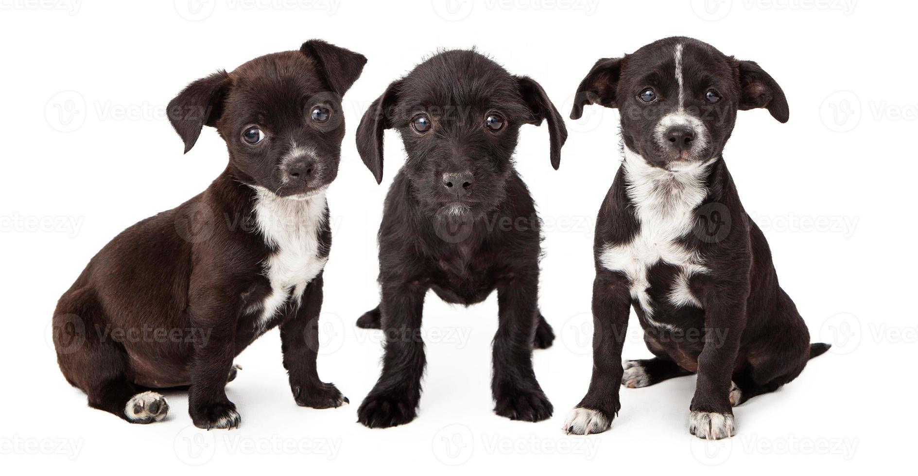 tre svarta och vita valpar foto