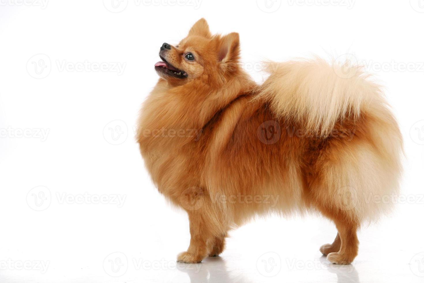 pomeranian spitz hund på vit foto