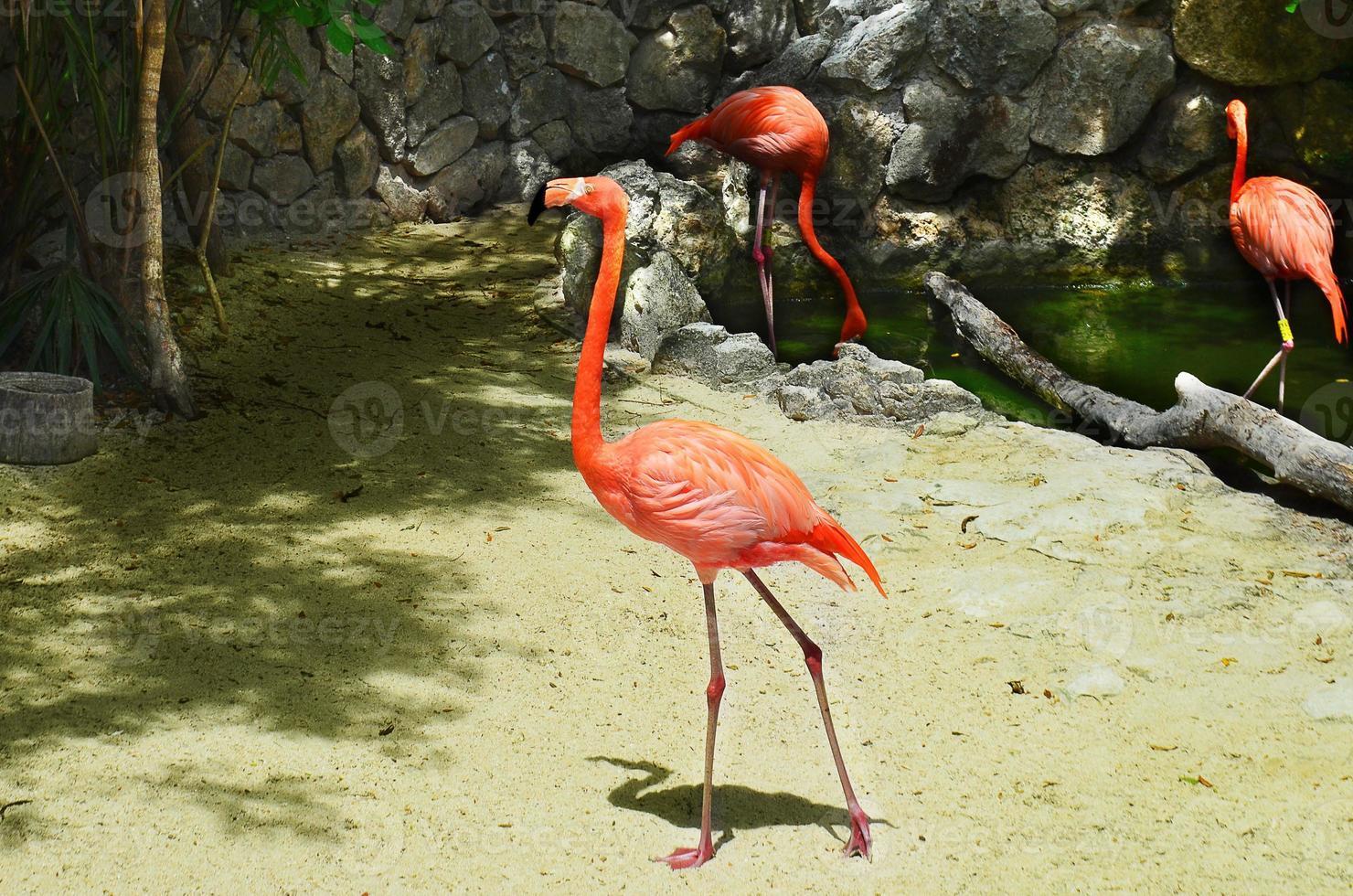 rosa flamingo som går i sanden längs vattnet foto