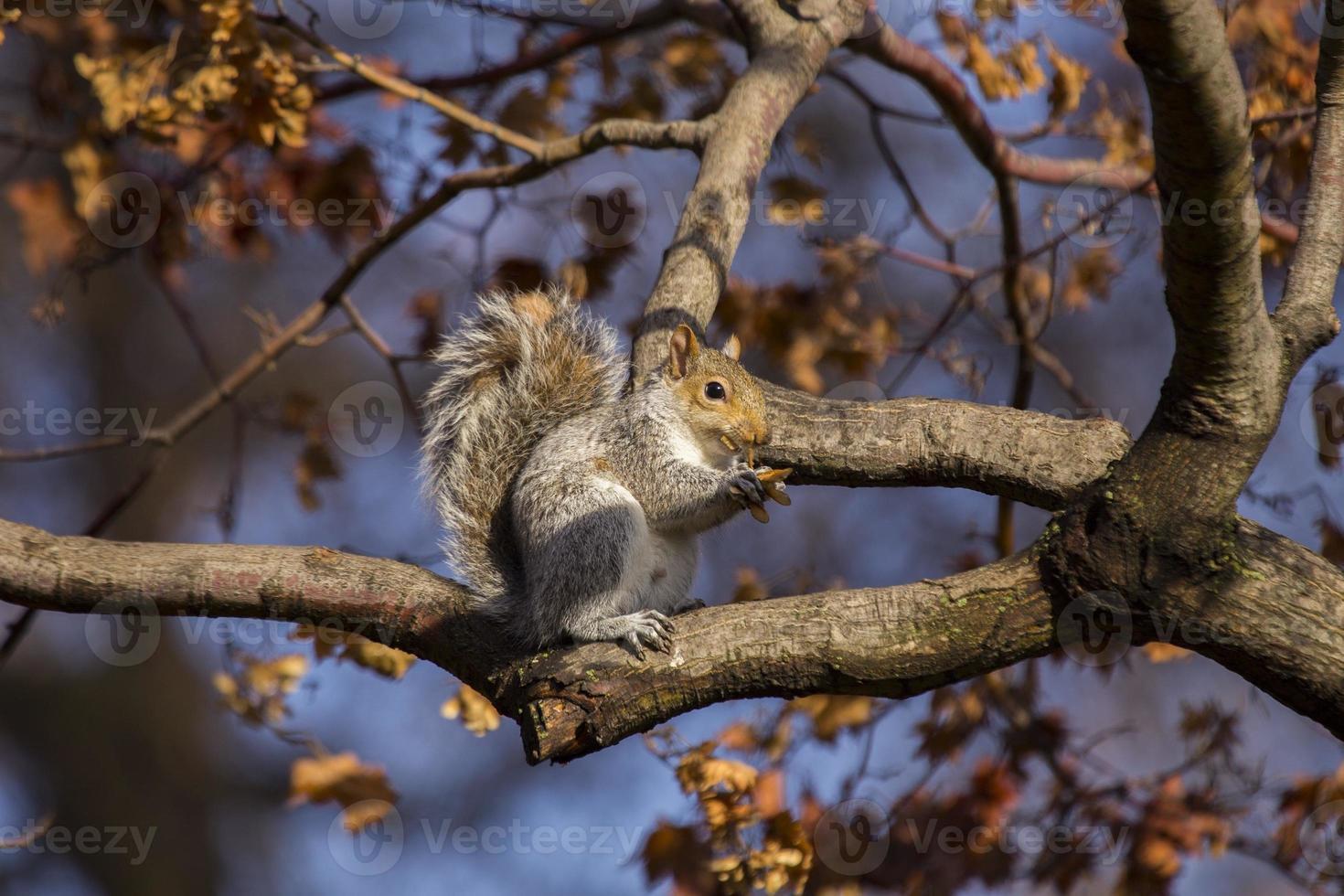 grå ekorre (sciurus carolinensis) foto