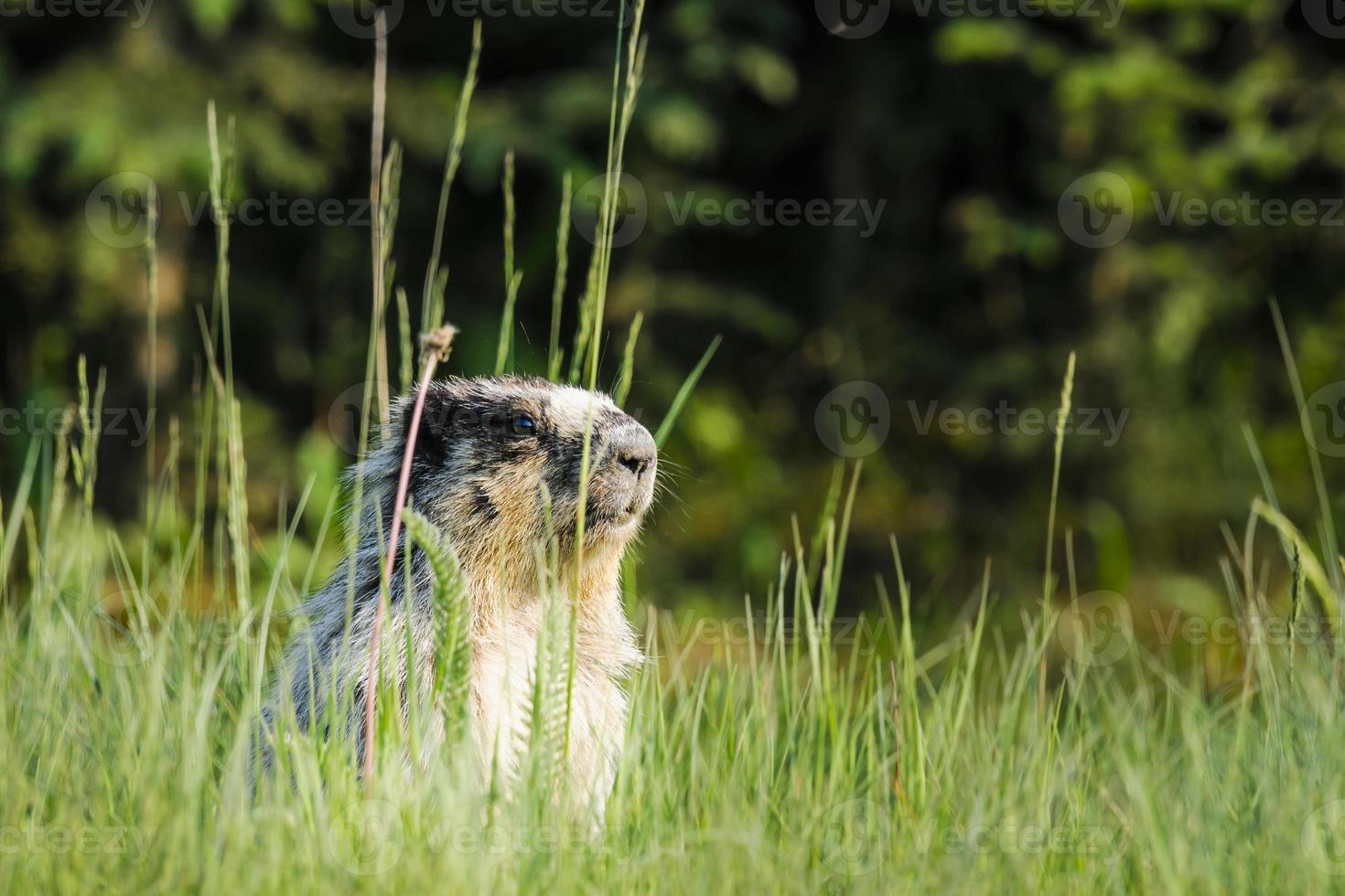 gulbockad marmot (marmota flaviventris) foto