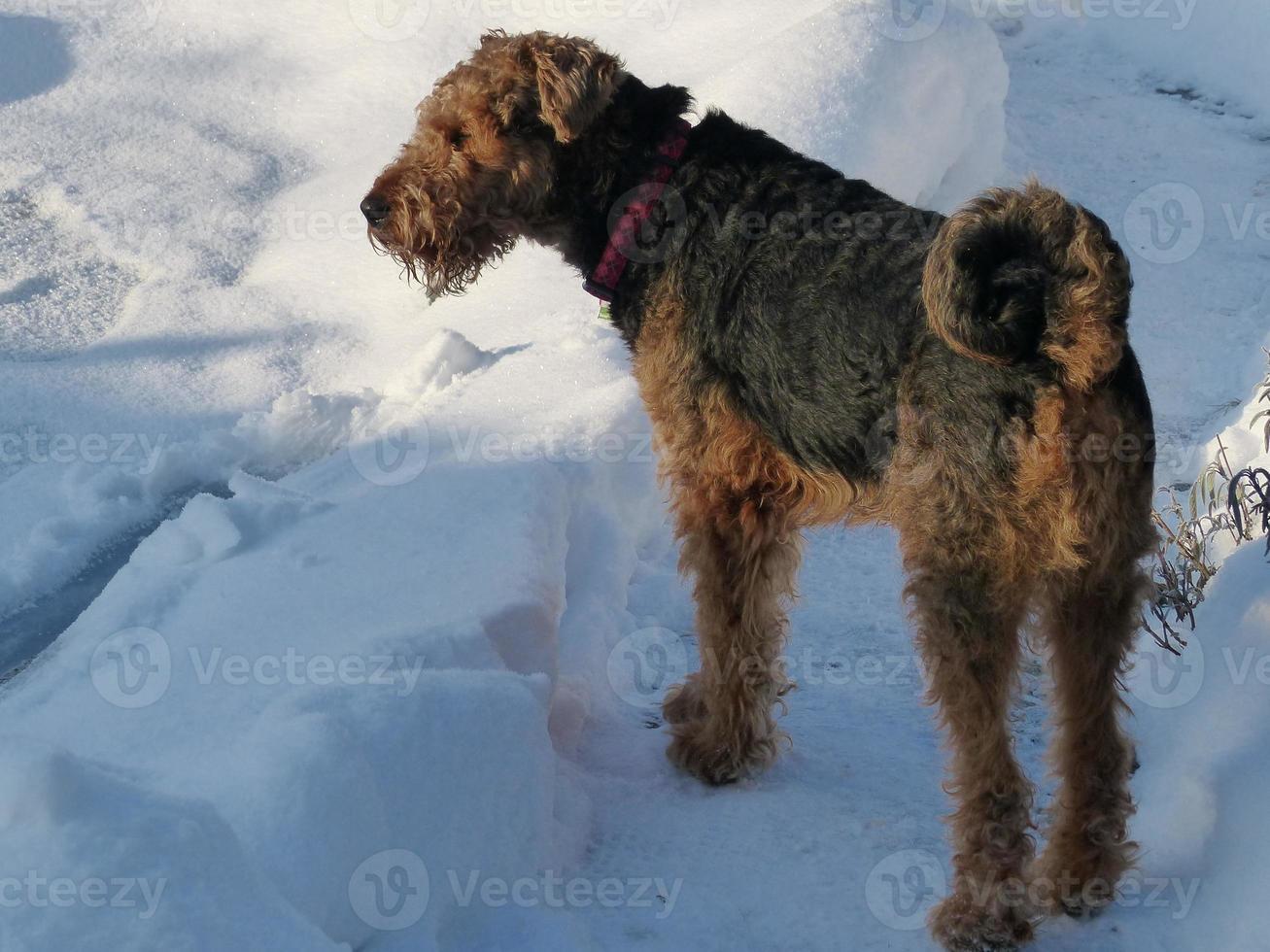 vår airedale terrier och snön ... foto