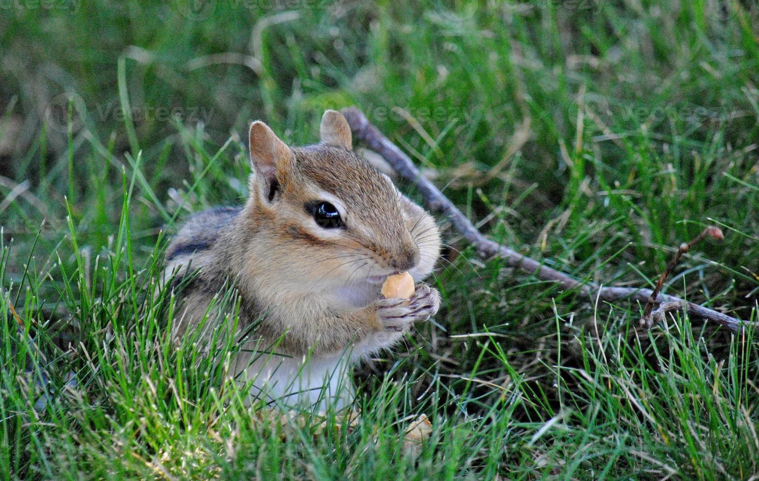 tillfredsställelse - chipmunk utfodring foto