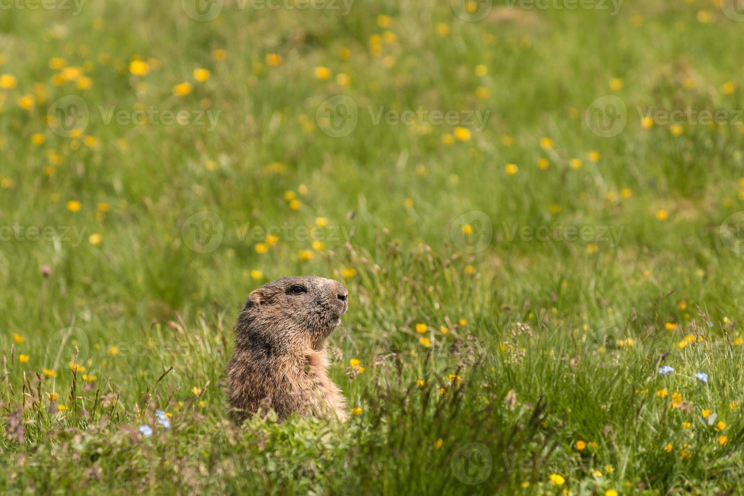 alpin marmot på ängen foto