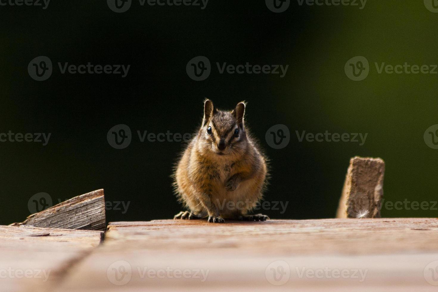 chipmunk staredown foto