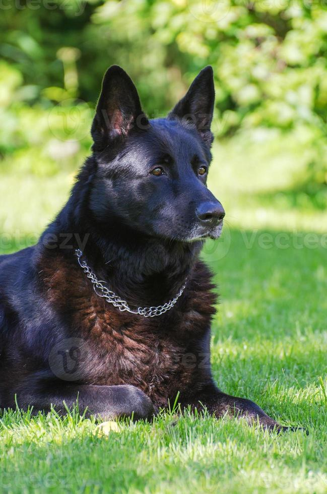 svart tysk herdehund utomhus. foto