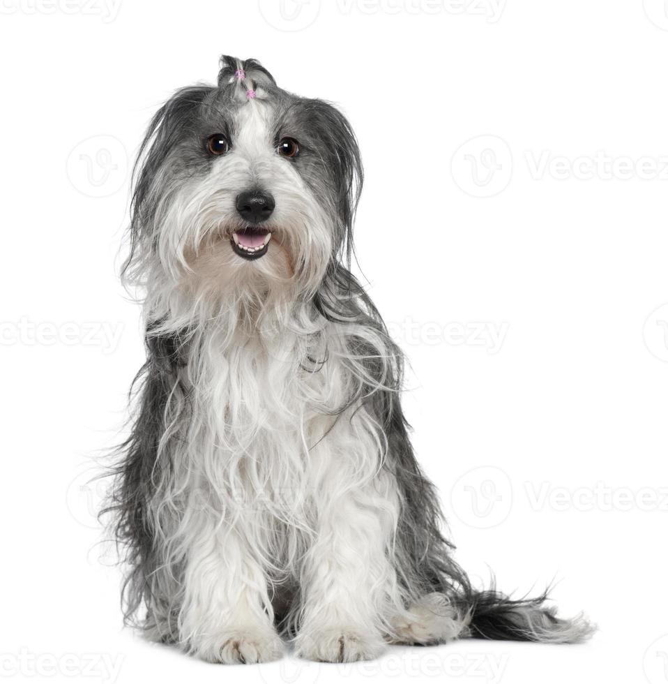 border collie blandat med en maltesisk hund, sittande foto