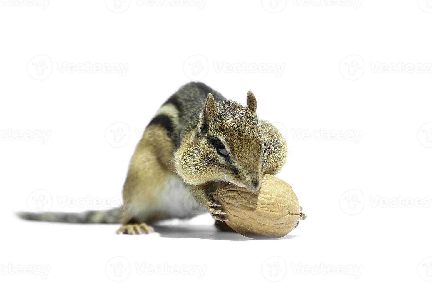 chipmunk och valnöt foto
