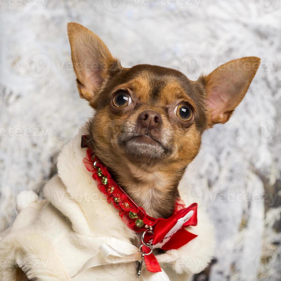 närbild av en klädd chihuahua i vinterlandskap foto