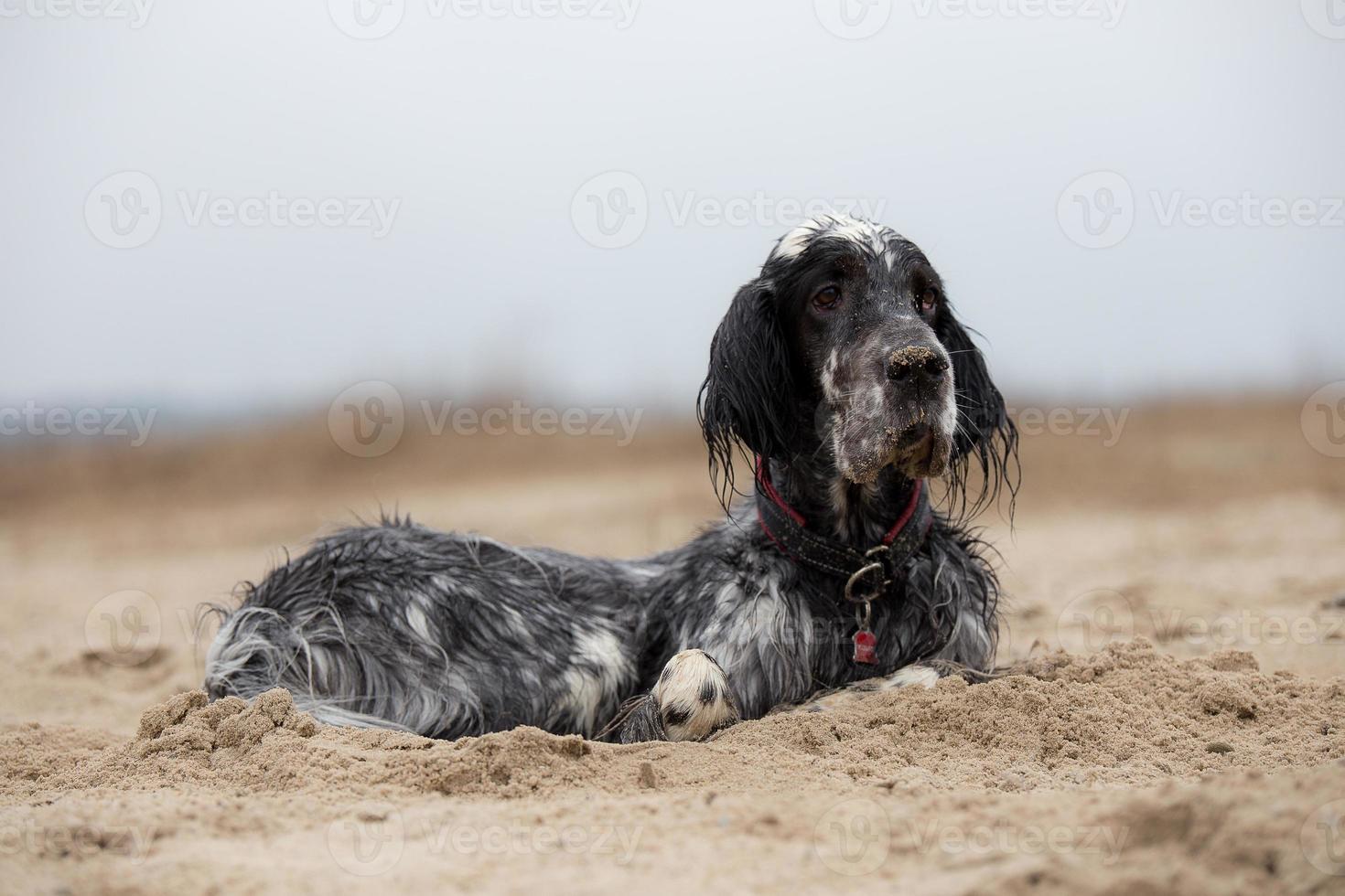 hund som ligger på stranden foto