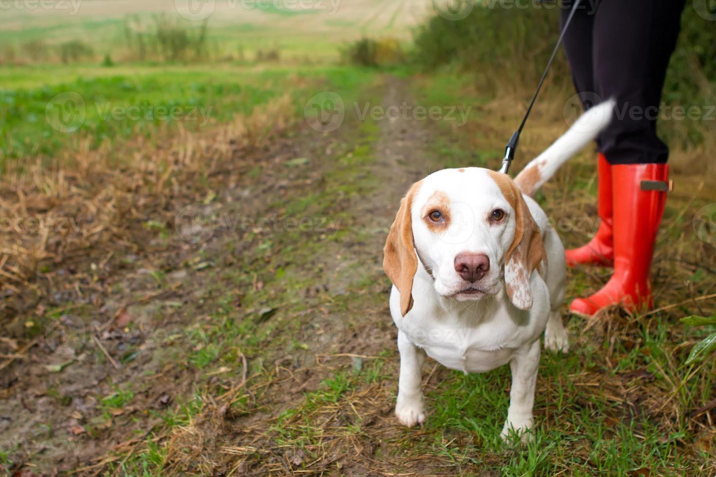 beagle promenerade i ledningen i fältet foto