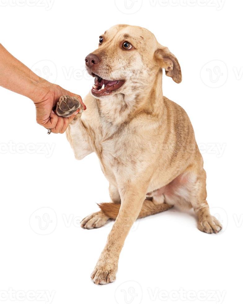 corgi korsning skakar hand foto